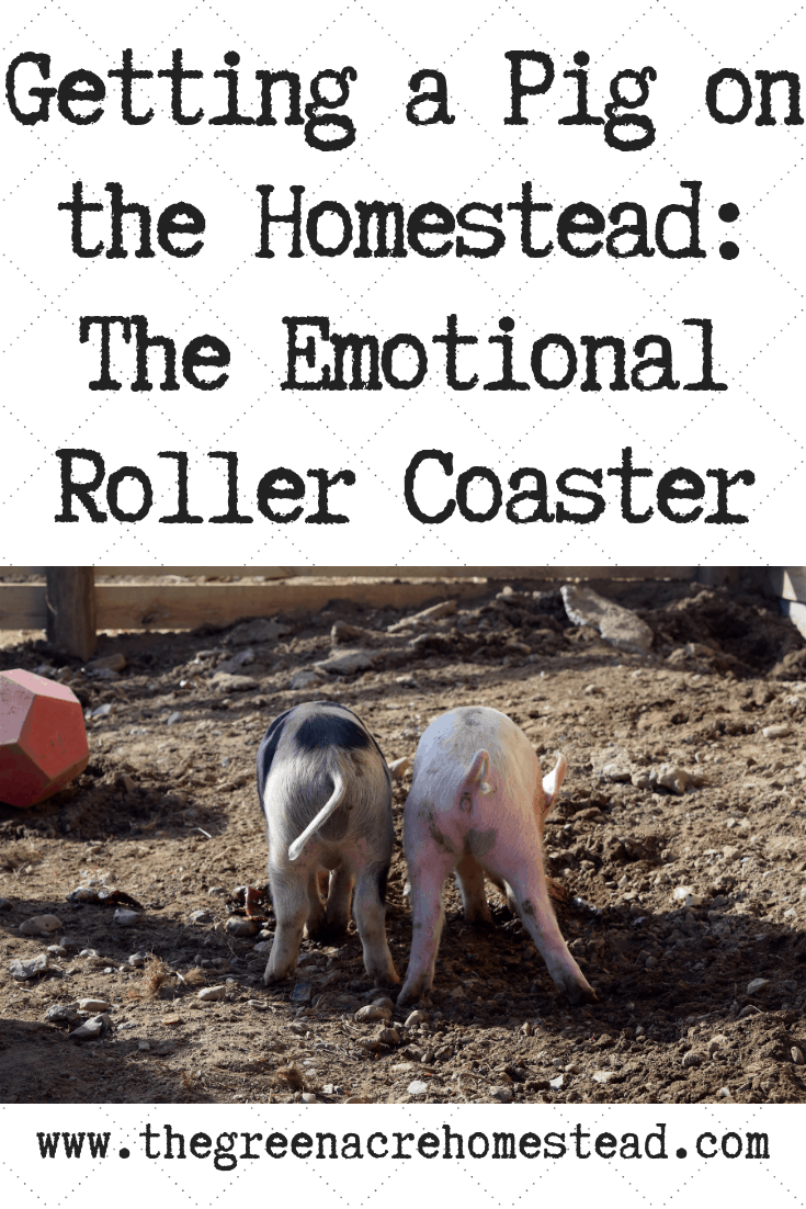 Getting a Pig on the Homestead_ The Emotional Roller Coaster (2)
