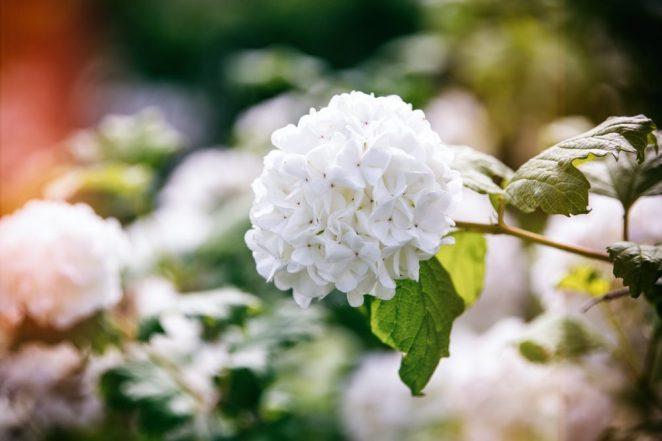 Viburnums in bloom,