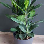 Ficus Audrey in ELHO sierpot (antraciet)