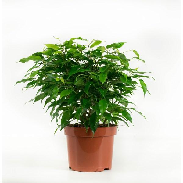 Ficus Green Kinky