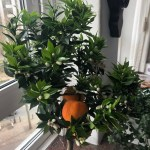 Citrus Mandarin