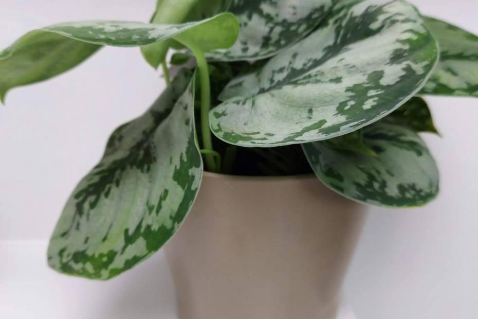 Kamerplanten die het liever doen met minder licht