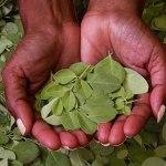 Conheça a árvore que pode acabar com a fome no mundo (e ainda despoluir a água)