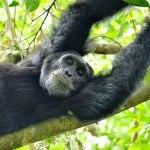 Eles estão livres! EUA anunciam que não usam mais chimpanzés em pesquisas científicas