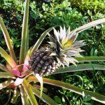 9 dicas para plantar abacaxis orgânicos em casa (ou no apartamento)