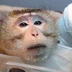 Universidade força macacos a usar cocaína em testes sobre dependência química – e internet recolhe 19 mil assinaturas para tentar impedi-la!