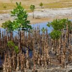 No Quênia, mercado de carbono impulsiona conservação de manguezais