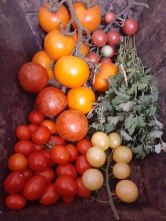 bowl of tomatoes from wagga wagga
