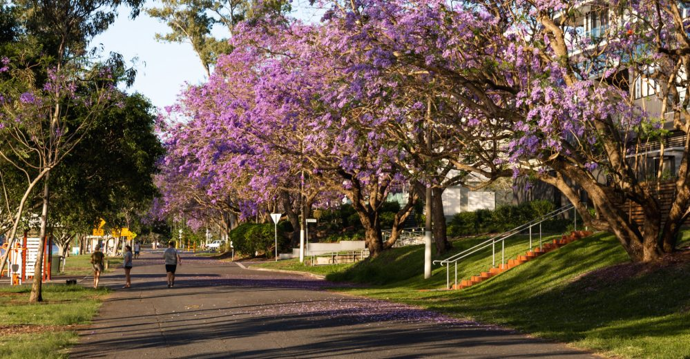 Walking path under jacaranda trees in the Brisbane green infrastructure