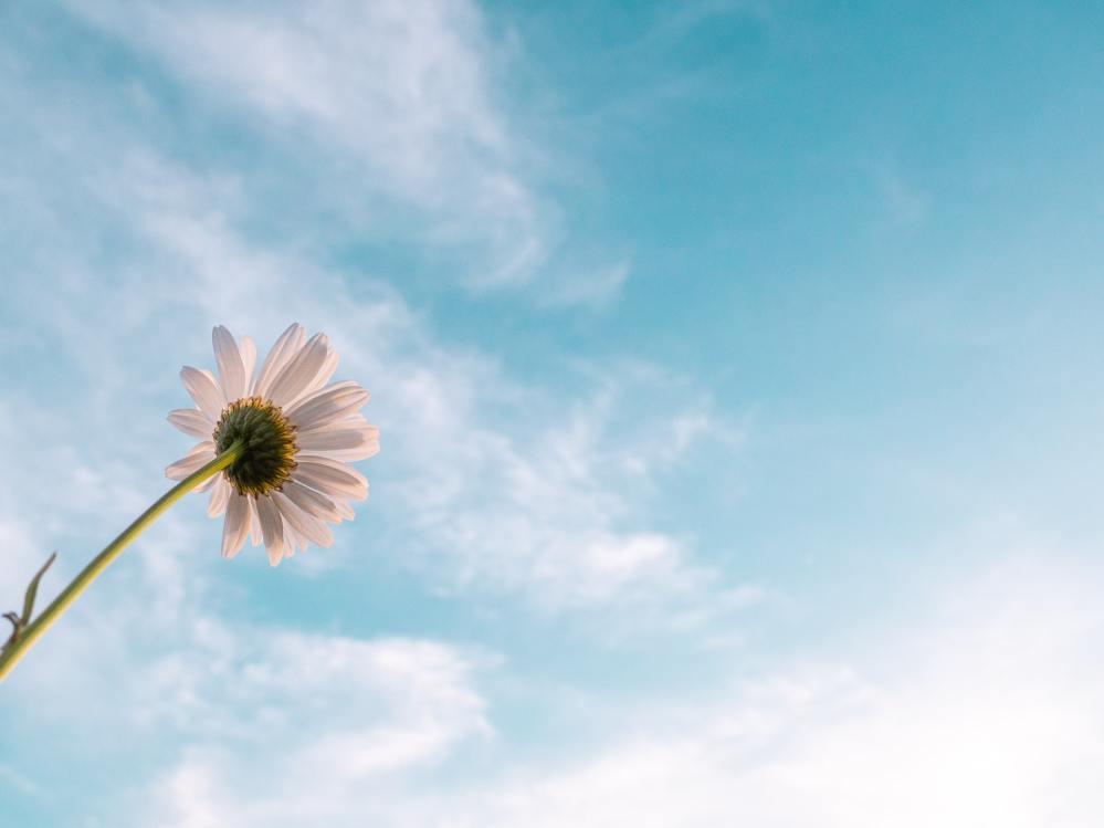 daisy blue sky