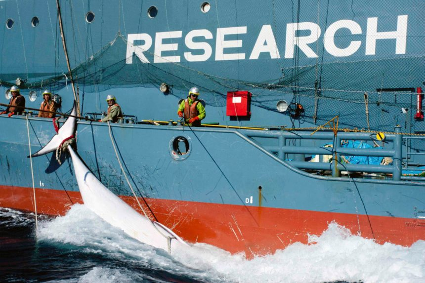Whale tied to the side of Japanese Research vessel Yushin Maru No. 2 is dragged through the ocean in Mackenzie Bay, Antarctica