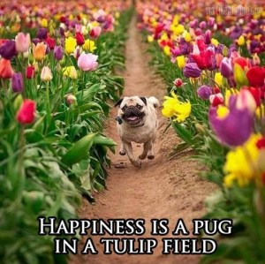 Spring Forward in the Equine Industry - happiness is a pug