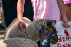 County Shows explained - showing farm animals
