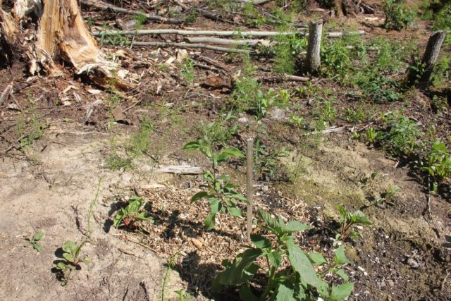 People who volunteer on farms alaska help us grow our cold climate permaculture food forest