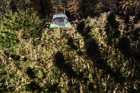 Dan sleeps in a tent to guard his plants from theft during harvest.
