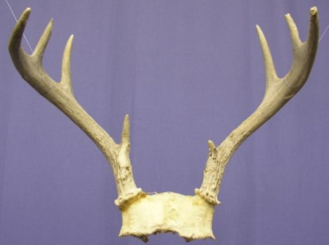 Antlers you may have