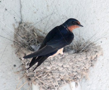 Barn swallows 14