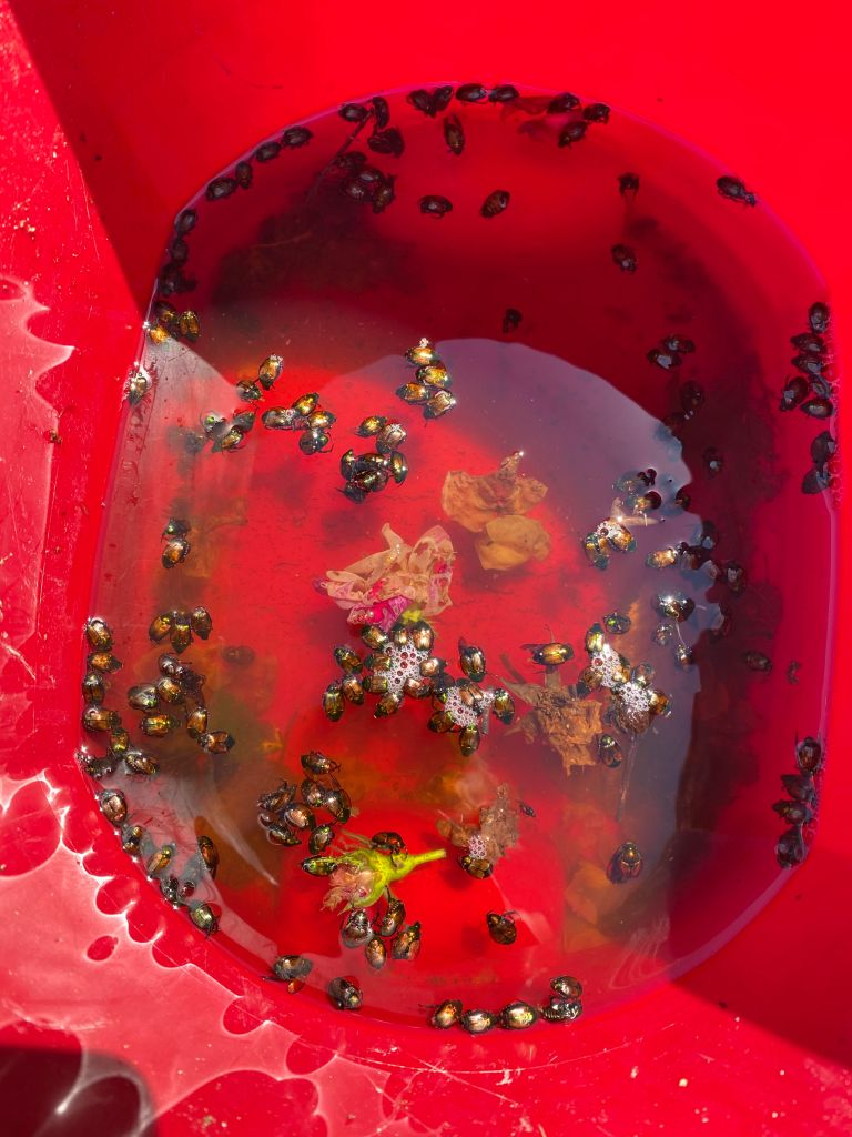 red bucket of water and Japanese beetles