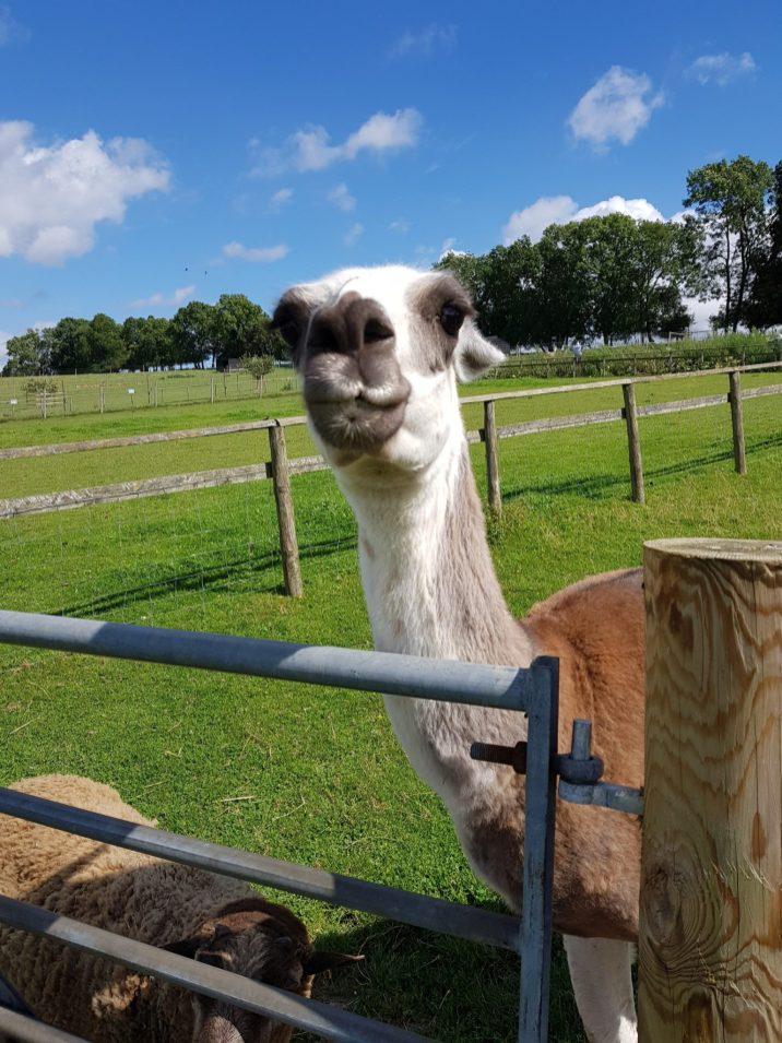 A Llama looking at the camera bocketts farm