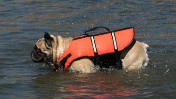 can a French bulldog swim