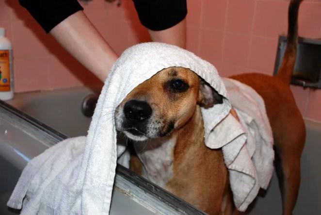 How often should I bathe my Chihuahua?