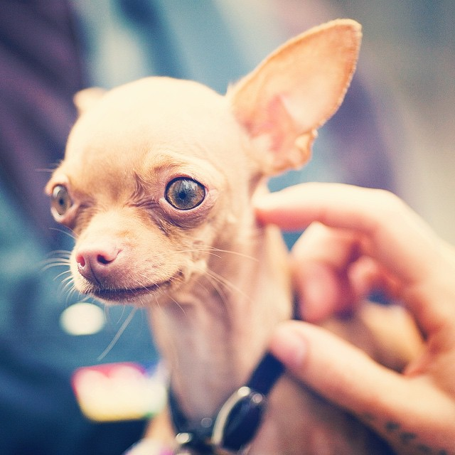 What are Chihuahuas allergic to?