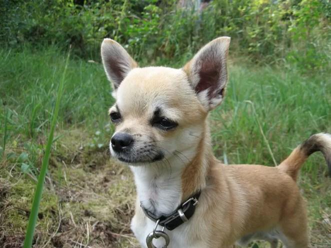 Why Do Chihuahuas Squint?