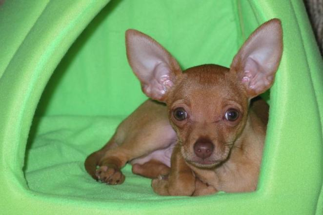 Does Chihuahua help asthma?