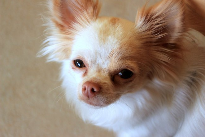 Why do Chihuahuas lick so much?