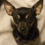 When Do Chihuahua Puppies Ears Stand Up?