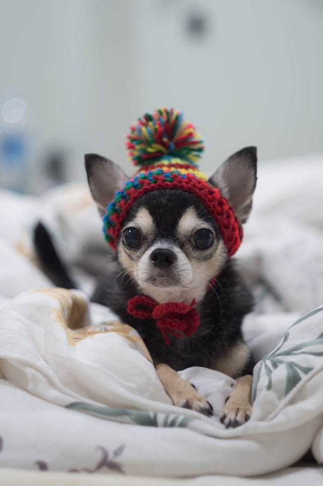 How to train a Chihuahua not to bark?
