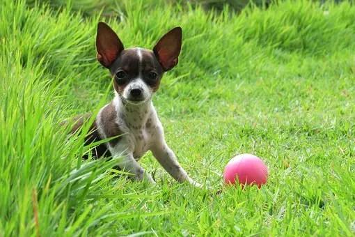 Do Chihuahuas like to swim?