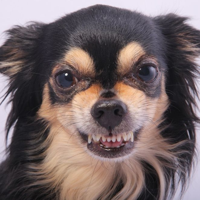 when-do-chihuahuas-lose-their-baby-teeth