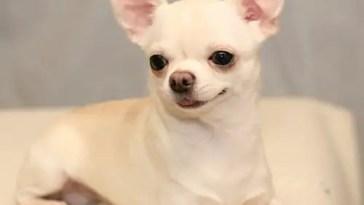 are Chihuahuas high maintenance