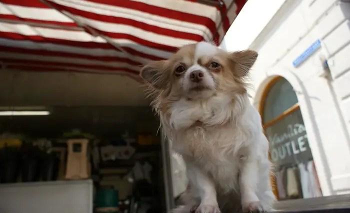 Are Chihuahuas loyal?
