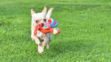 how fast can Chihuahuas run