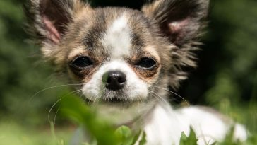 are-chihuahuas-hard-to-potty-train