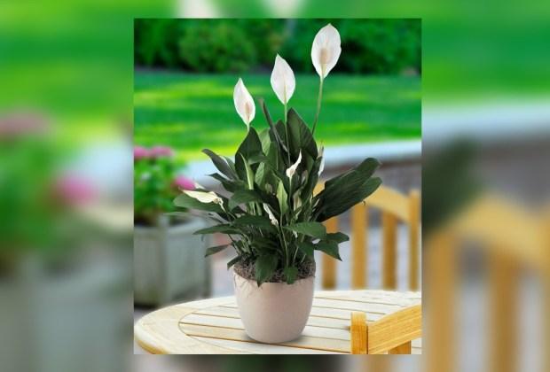 Las plantas de interior más fáciles de cuidar - lirio-de-paz-planta-1024x694