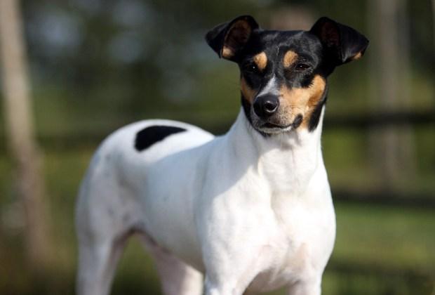 Las 11 razas de perros más tiernas - fox-terrier-perros-1024x694