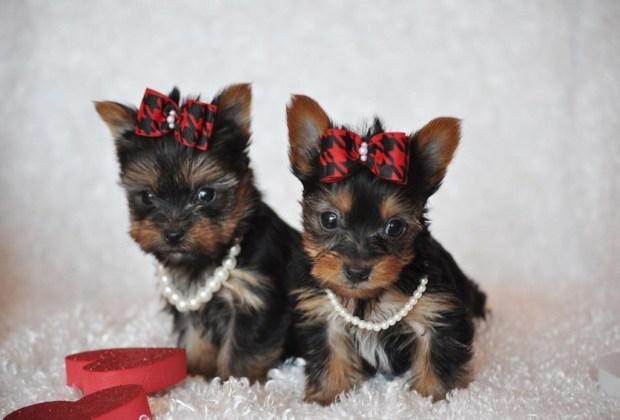 Las 11 razas de perros más tiernas - yorkshire-terrier-perros-1024x694