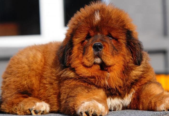 Descubre cuáles son las 7 razas de perros más caras del mundo - mastintibetano2