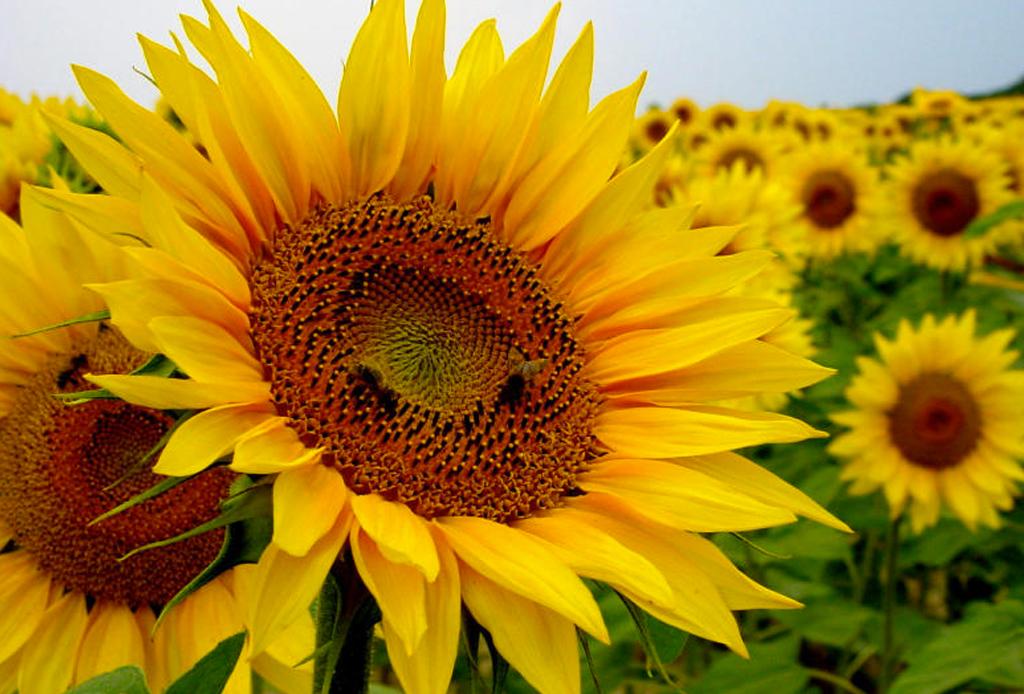 La guía infalible para saber el significado de las flores - girasol