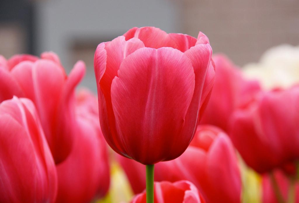 La guía infalible para saber el significado de las flores - tulipanes