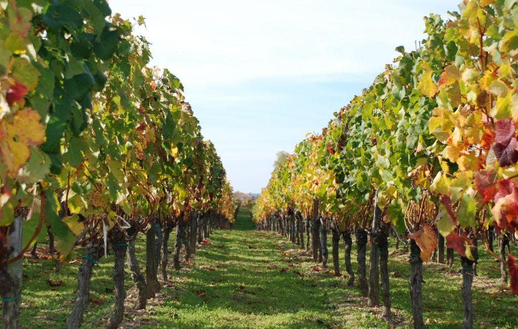 Conoce los viñedos de la Ruta del Vino en Querétaro