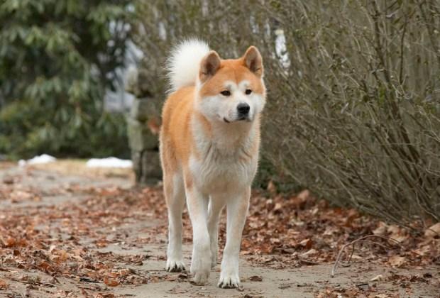 Los perros más famosos del cine - hachiko-1024x694