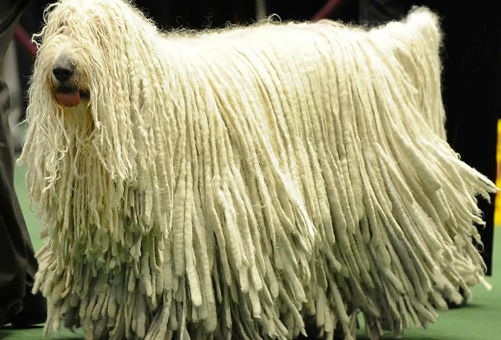 Las 10 razas de perro más grandes del mundo - perros-mas-grandes-del-mundo-4