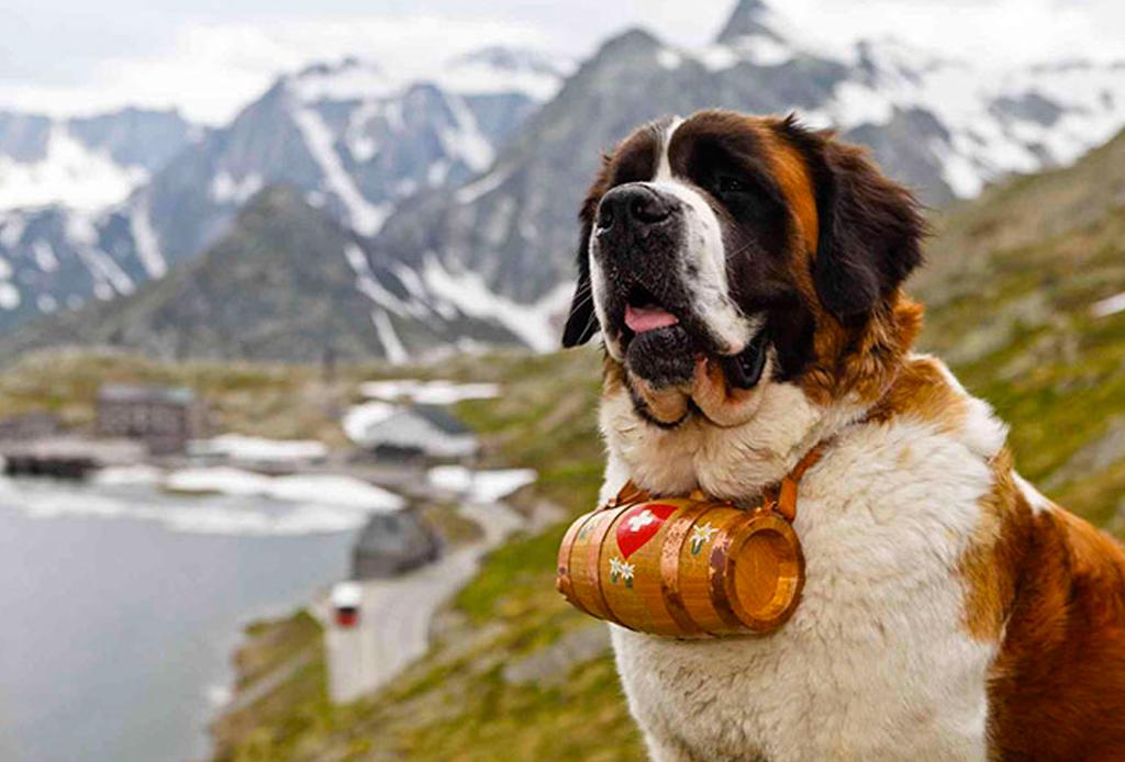 Las 10 razas de perro más grandes del mundo - perros-mas-grandes-del-mundo-san-bernardo