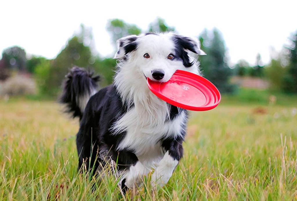 Estas razas de perros conviven perfectamente con los felinos - border-collie-1024x694