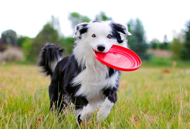 Estas 7 razas de perros son ideales para personas solteras - border-collie-1024x694