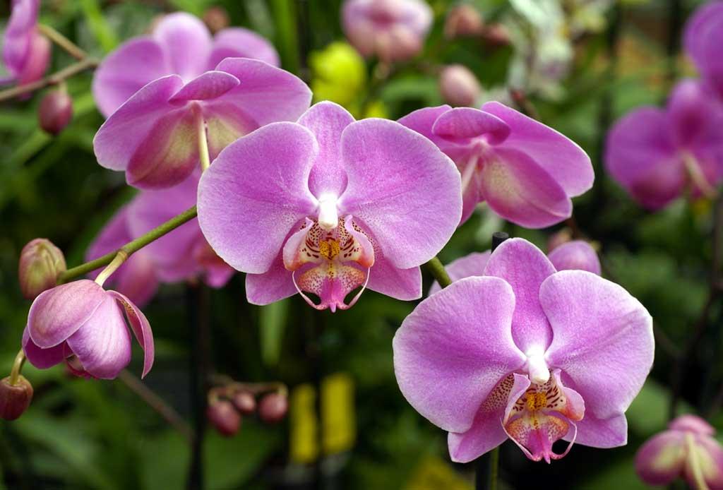 Los 6 pasos infalibles para cuidar una orquídea - orquideas-6